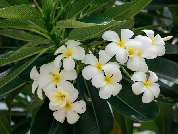 Plumeria blanc fleurs sur l'arbre et les feuilles