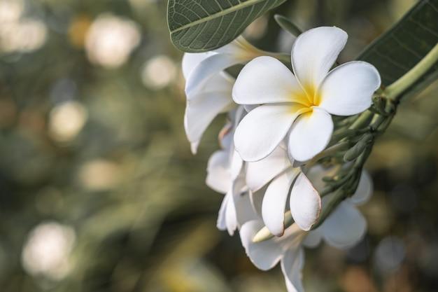 Plumeria blanc fleurs et feuilles