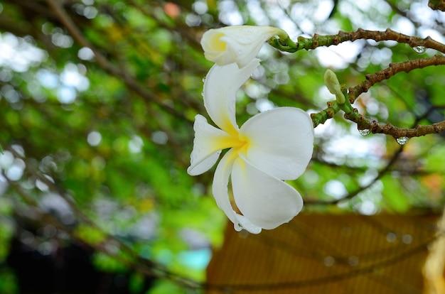 Plumeria blanc frais avec la nature