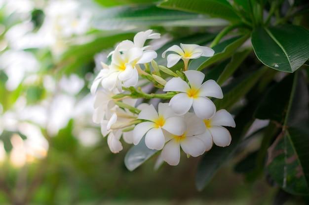 Plumeria blanc ou frangipanier. douce odeur de fleurs de plumeria blanches dans le jardin.