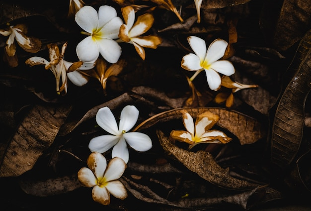 Plumeria blanc tombé