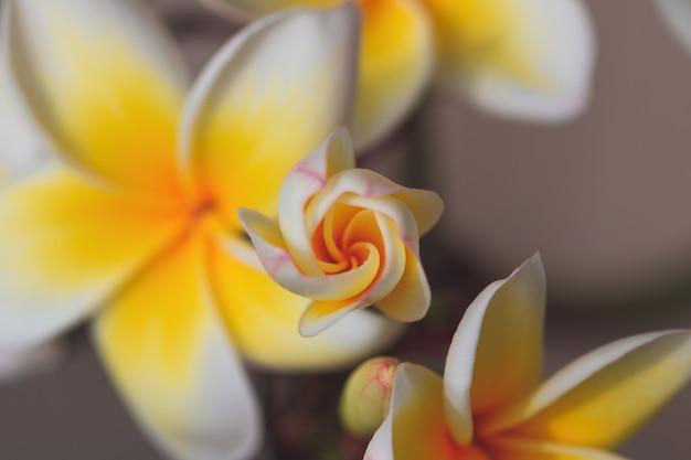 Plumeria fleur blanche et jaune qui fleurit sur le jardin