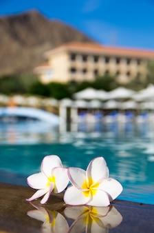 Plumeria fleur tropicale sur piscine