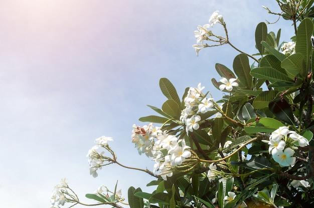Plumeria fleurs contre un ciel bleu vif