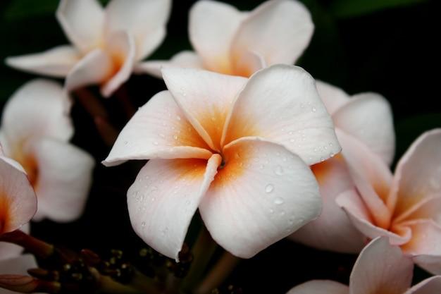 Plumeria, fleurs de frangipanier