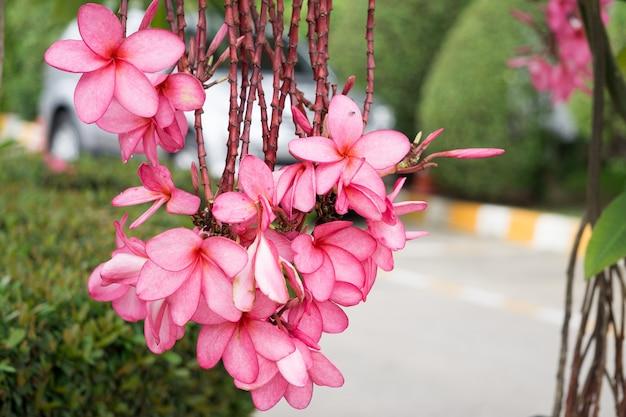 Plumeria avec fond de nature dans sunnyday naturel