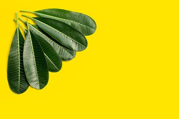Plumeria laisse sur fond jaune.