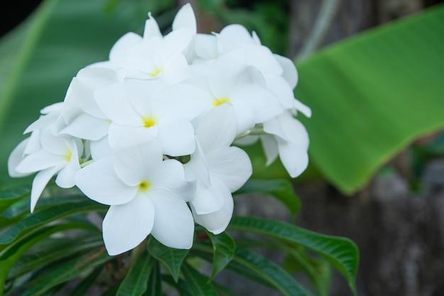 Plumeria pudica à fleurs blanches, bouquet de mariée