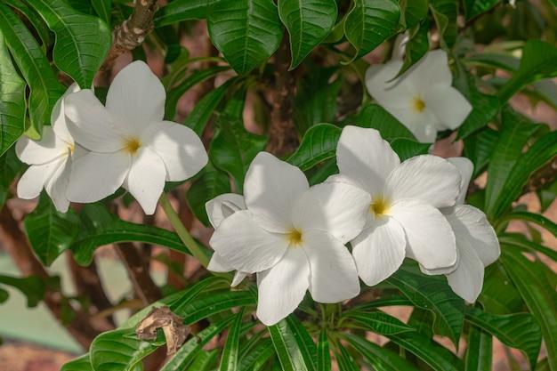 Plumeria pudica fleurs blanches en fleurs