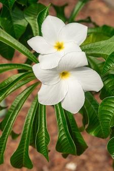 Plumeria pudica fleurs blanches