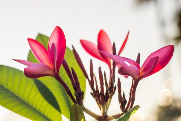 Plumeria rouge fleurs belle, frangipanier flou fond