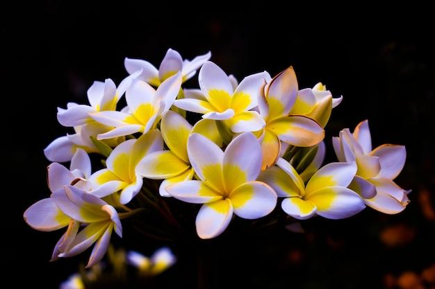 Plumeria rubra fleurs fleurissant avec mur sombre