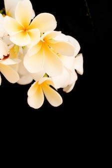 Plumeria tropical