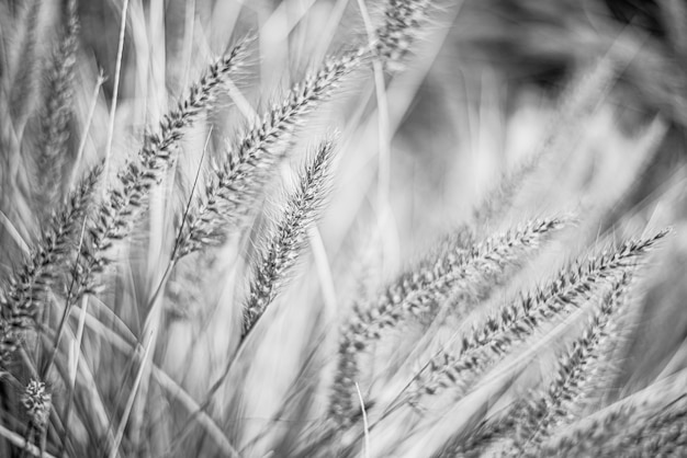 Plumes d'herbe pennisetum advena rubrum en floraison