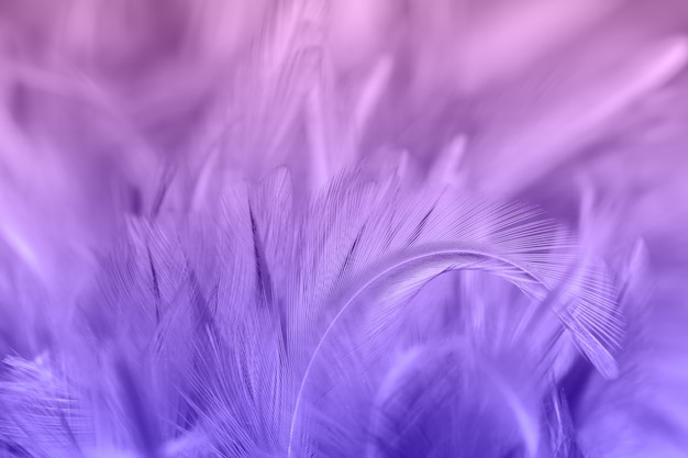 Plumes de poulet pourpres dans le style doux et flou pour le fond