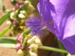 Plumeux fleur bleue, fleur