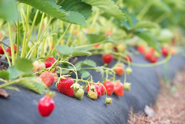 De plus en plus de fraises délicieuses sur des fibres agricoles spéciales dans le jardin
