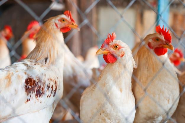 Plusieurs coqs multicolores en gros plan derrière un filet sur une ferme avicole de beaux animaux