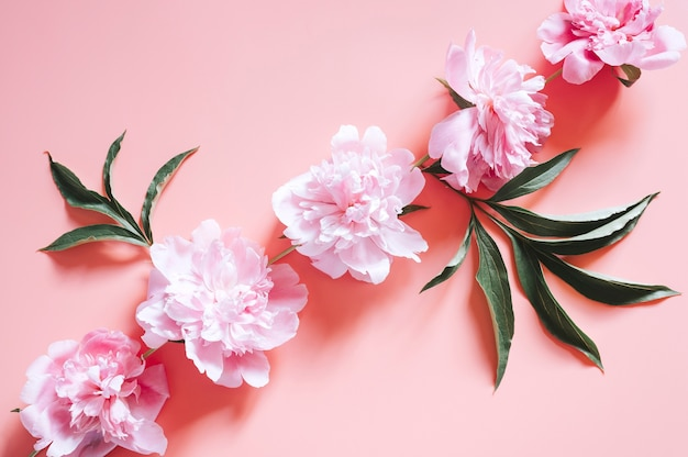 Plusieurs fleurs de pivoine en pleine floraison de couleur rose pastel et feuilles isolées sur rose pâle