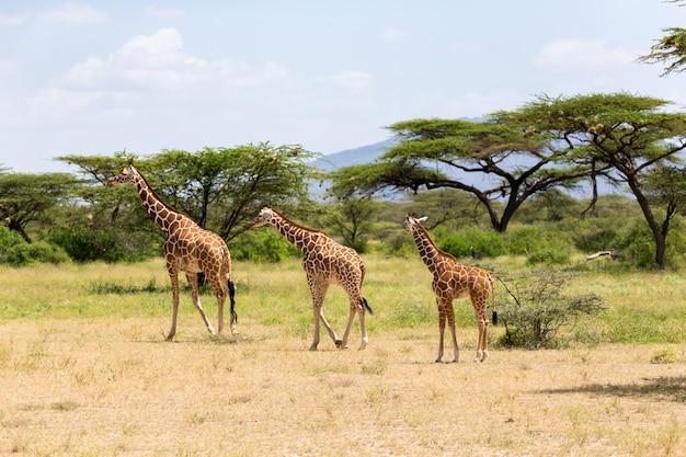 Plusieurs girafes marchent dans la prairie