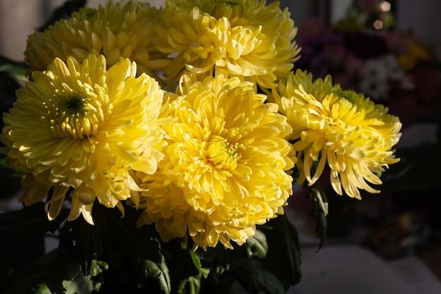 Plusieurs grandes fleurs de chrysanthèmes jaunes en bouquet dans un vase sous les rayons du soleil.