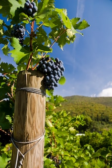 Plusieurs grappes de raisins mûrs sur la vigne