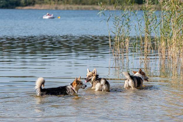 Plusieurs heureux chiens welsh corgi jouant et sautant dans l'eau sur la plage de sable