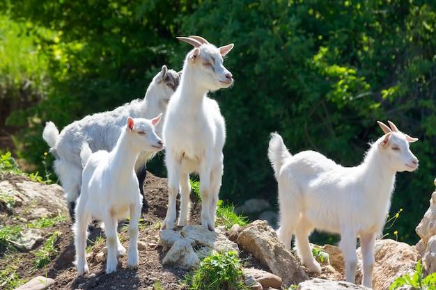 Plusieurs jeunes chèvres broutant en été, mise au point sélective