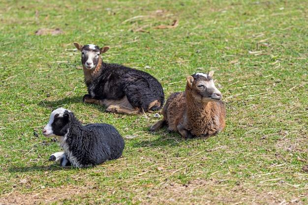 Plusieurs moutons dans un pré dans la cour d'un concept de ferme, d'agriculture et d'agriculture