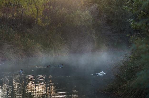 Plusieurs oies blanches nagent dans un lac en automne en espagne