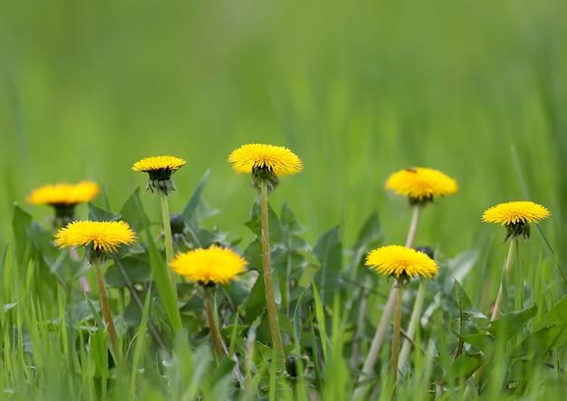Plusieurs pissenlits jaune vif
