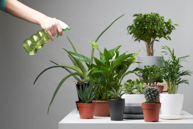 Plusieurs plantes d'intérieur, cactus en pots, main avec vaporisateur sur fond gris vide