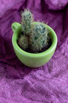 Plusieurs processus d'un cactus vivace mammillaria prolifera dans une petite tasse verte décorative sur une serviette violette. mammillaria produit un grand nombre de pousses. concept de reproduction, nouvelle vie.