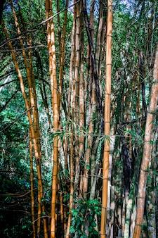 Plusieurs troncs de bambou aux feuilles vertes au milieu de la jungle