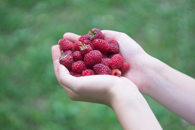 Une poignée de framboises mûres de la forêt rouge dans les mains