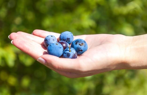 Poignée de gros bleuets mûrs dans la main