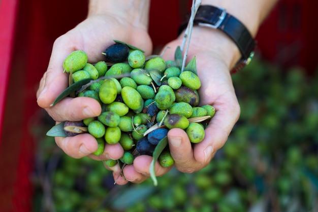 Poignée d'olives, taggiasca ou cailletier, cultivar cultivé principalement dans le sud de la france.
