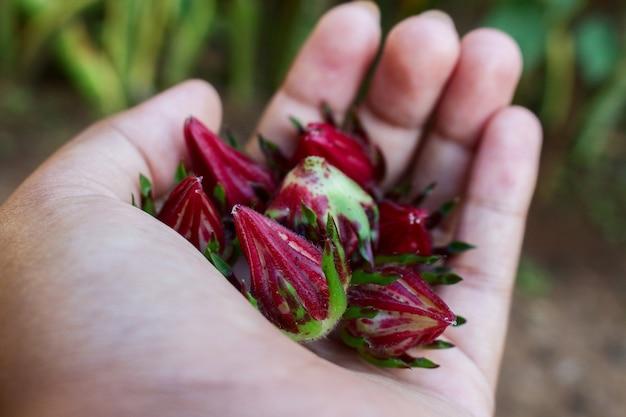 Poignée de rosella pod