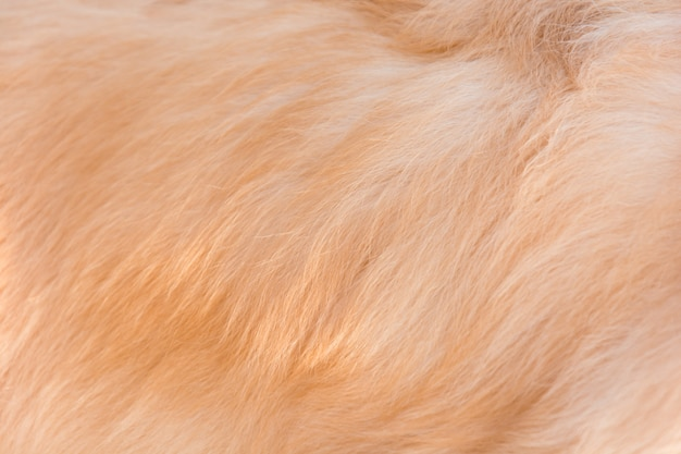 Poil de chien golden retriever