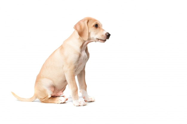 Poil court blonde assise chien