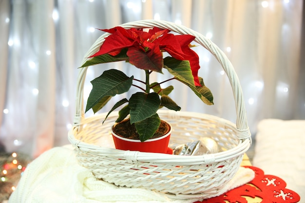 Poinsettia de fleur de noël d'intérieur