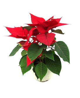 Poinsettia de fleur de noël rouge dans un pot.
