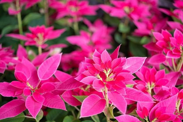 Poinsettia de noël rouge ou euphorbia pulcherrima