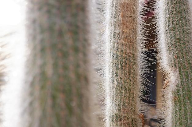 Pointes d'un cactus blanc avec des gouttes d'eau condensées de la rosée du matin dans le désert.