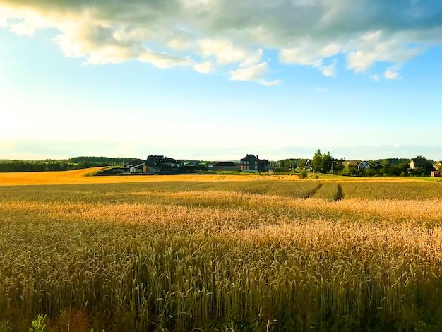 Pointes de seigle sur le champ en soirée, soleil.