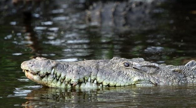 Pointu crocodile crocodylus acutus