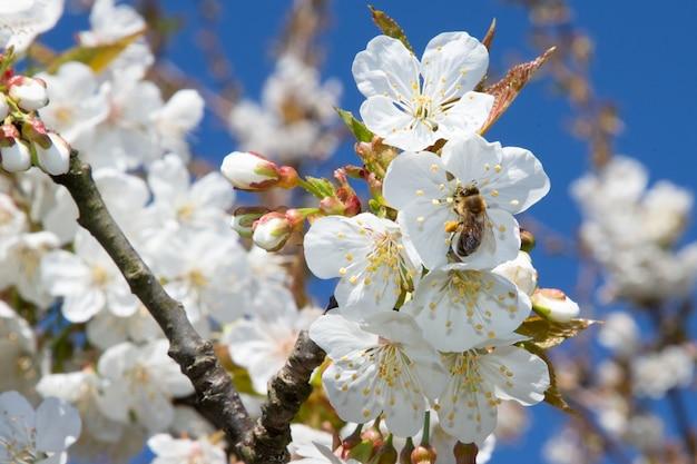 Poire, cerise, fleurs, arbre