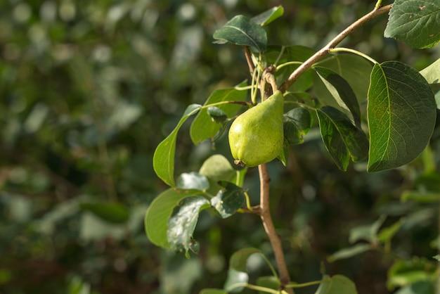 Poire mûre sur une branche