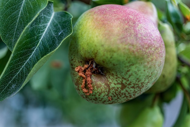 Poire pourrie sur l'arbre fruitier, infestation par monilia laxa (monilinia laxa), maladie des plantes. la récolte perdue de poires sur l'arbre. maladie des plantes fruitières. agriculture.