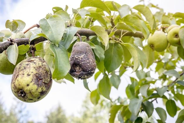 Une poire pourrie est accrochée à une branche d'arbre parmi les fruits mûrs frais